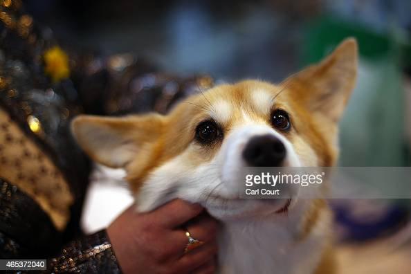 Corgi is groomed on the second day of Crufts dog show at the National Exhibition Centre on March 6 2015 in Birmingham England First held in 1891...