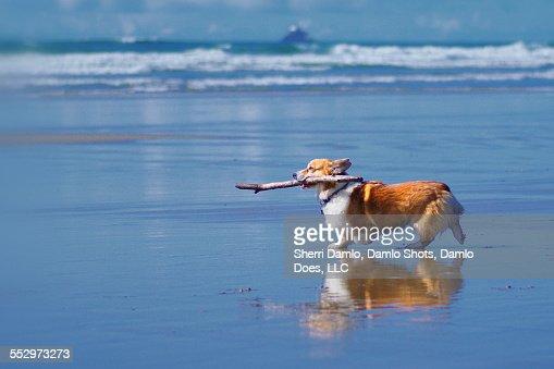 Corgi playing fetch on the beach
