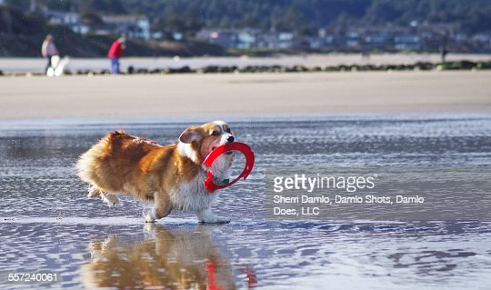 Corgi playing fetch on the beach : Stock Photo