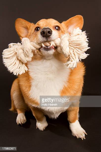 Corgi Playing with toy