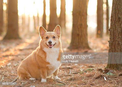 Corgi portrait in the woods