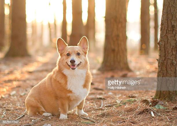 Corgi portrait in the woods