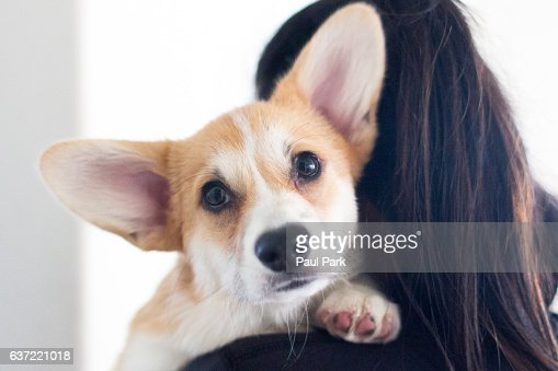 Corgi puppy held by human