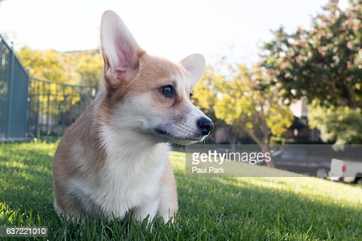 Corgi puppy in grass