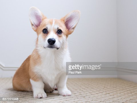 Corgi puppy sitting on carpet