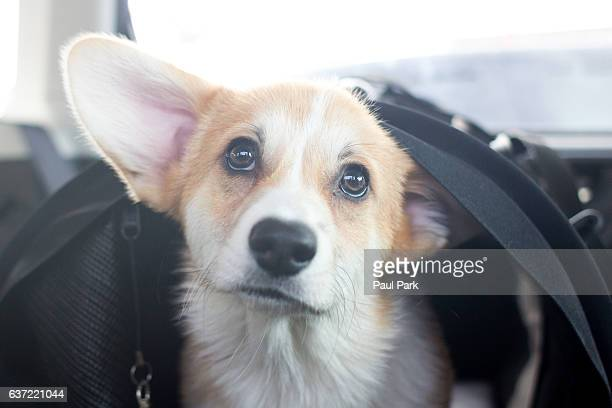 Corgi puppy sticking head out of crate