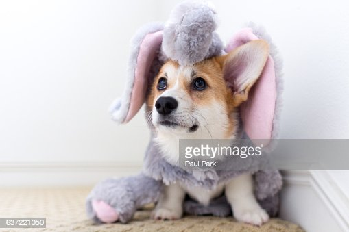 Corgi puppy wearing elephant costume