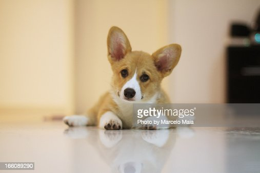 Corgi puppy with a curious expression : Stock Photo