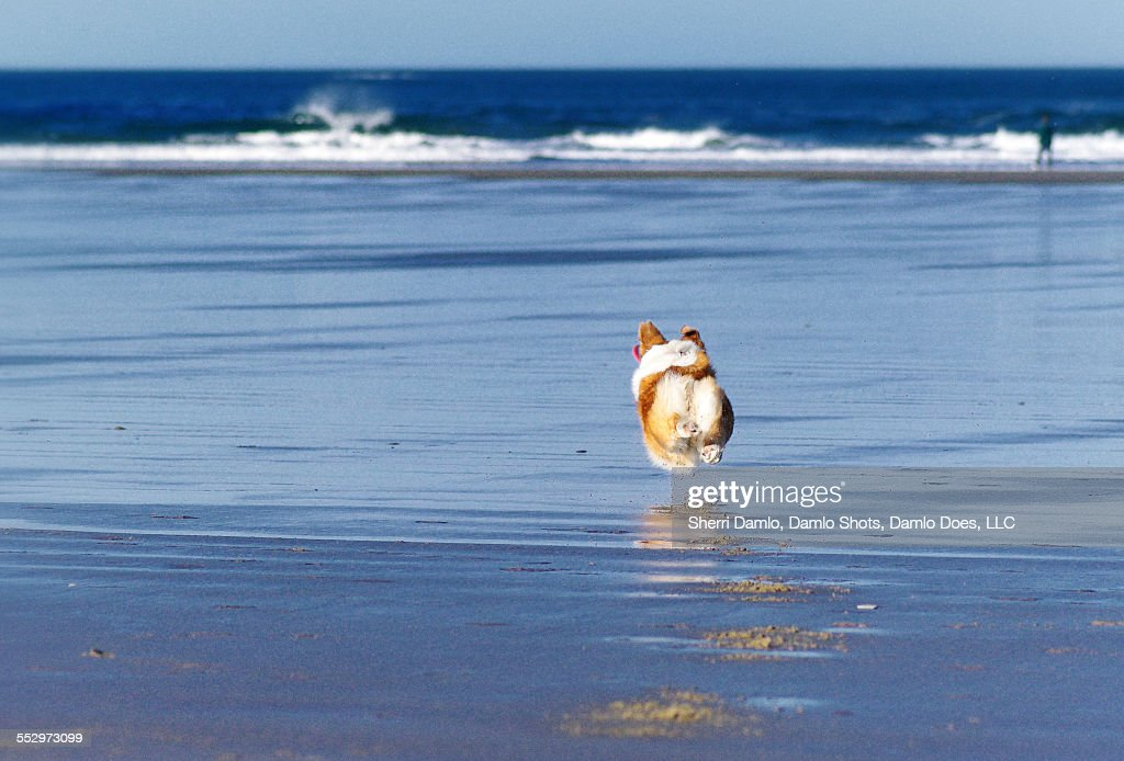 Corgi running on the coast : Stock Photo