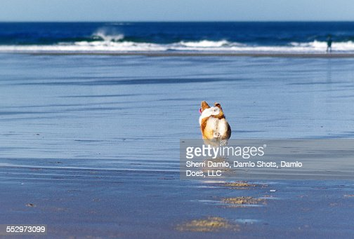 Corgi running on the coast