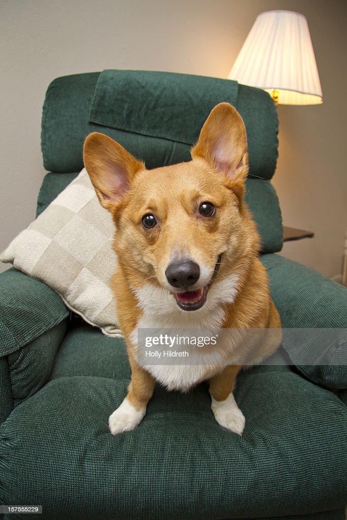 A corgi sitting in a recliner : Stock Photo