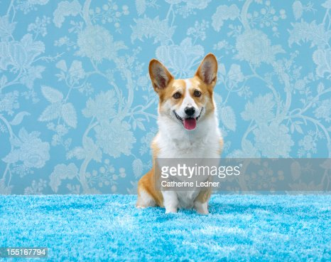 Corgi (Canis lupis familiaris) sitting