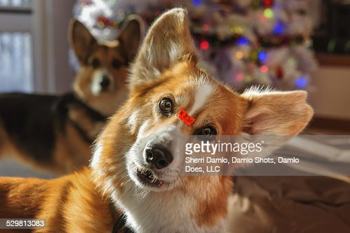 Corgi with an 'as is' price tag