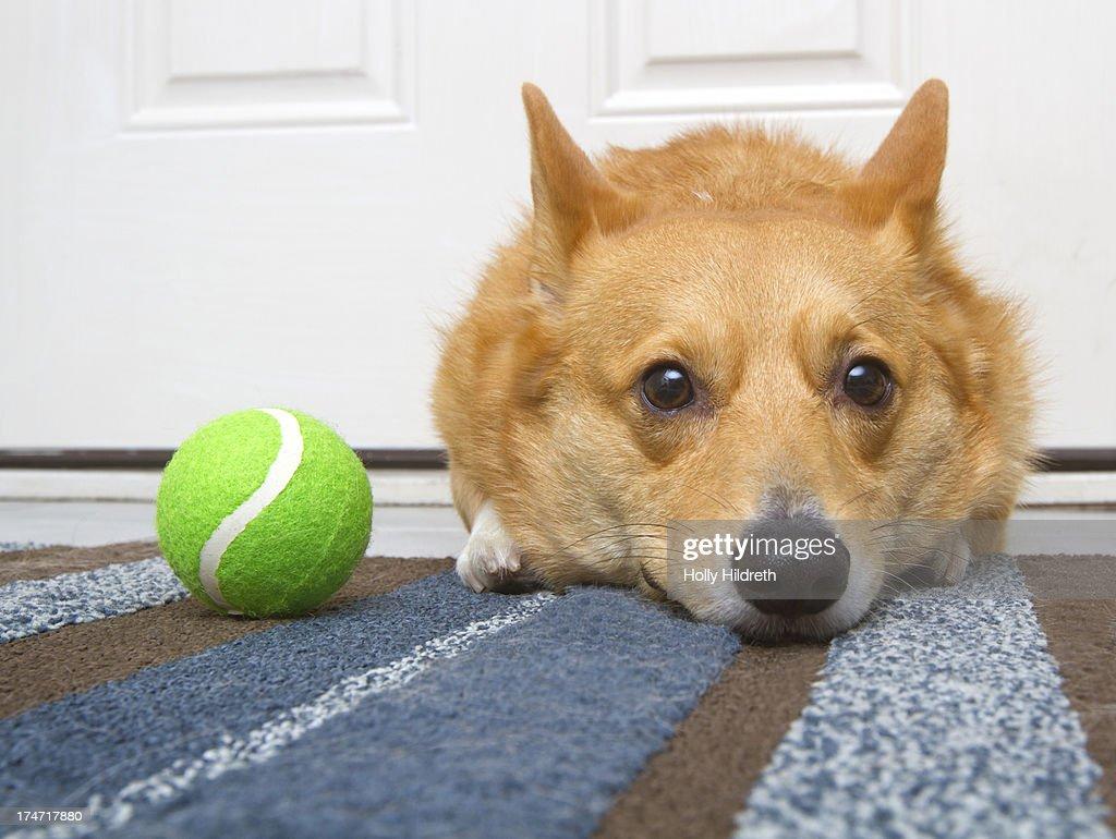 Corgi with tennis Ball
