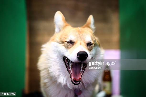 Corgi yawns on the second day of Crufts dog show at the National Exhibition Centre on March 6 2015 in Birmingham England First held in 1891 Crufts is...