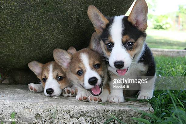 Corgie pups, this was there first trip out of the barn, very curious indeed