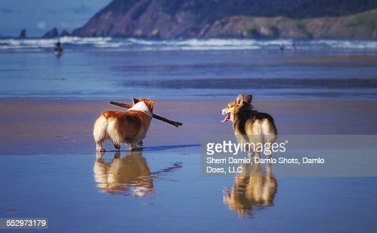 Corgis on an Oregon beach : Stock Photo