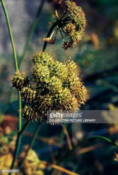 Coriander cilantro or Chinese parsley Apiaceae