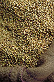 Coriander in burlap bag, close-up
