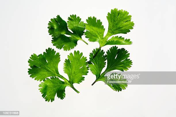 Coriander leaves on white background, close-up