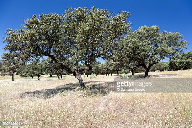 Cork Oak Dehesa