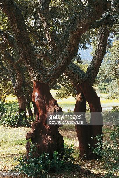 Cork Oak Fagaceae Gallura Sardinia Italy