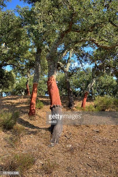 コルクオーク(Quercus suber