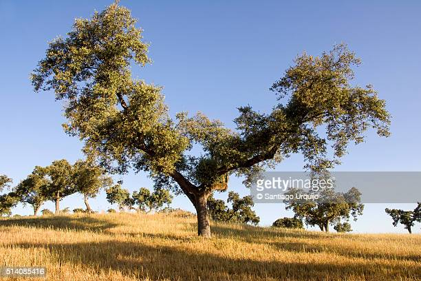 Cork oaks in cereal fields in montado countryside
