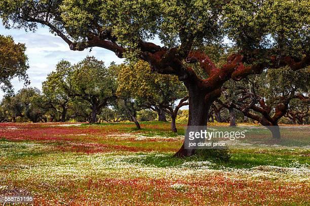Cork Trees, Evora, Alentejo, Portugal