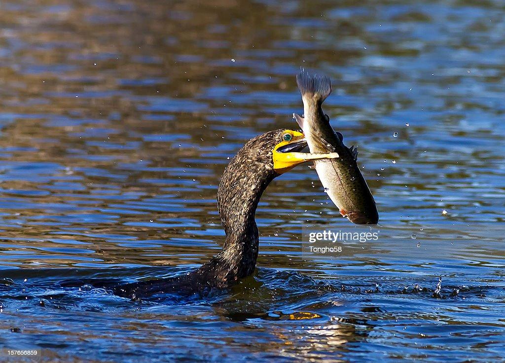 Cormorant Caught Big Fish : Stock Photo