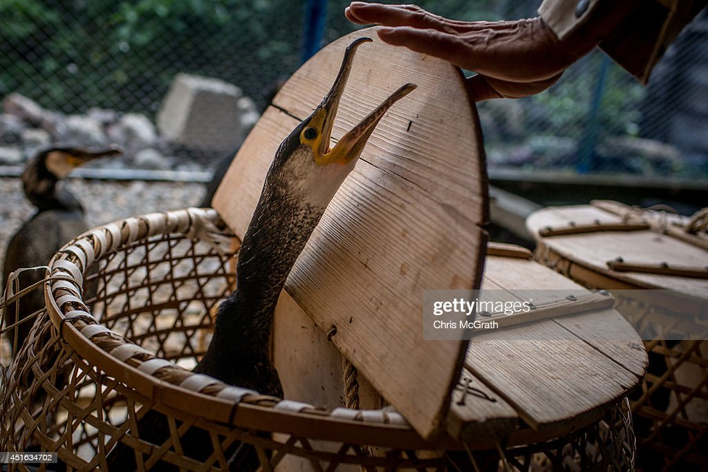 Cormorant master Mr Masahiko Sugiyama places his sea cormorants in baskets to be transported to the fishing boat on July 2 2014 in Gifu Japan In this...