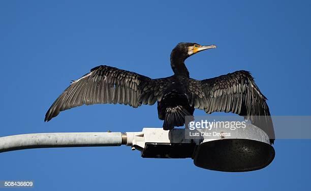 Cormorant on a lamppost
