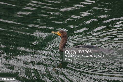 Cormorant : Stock Photo