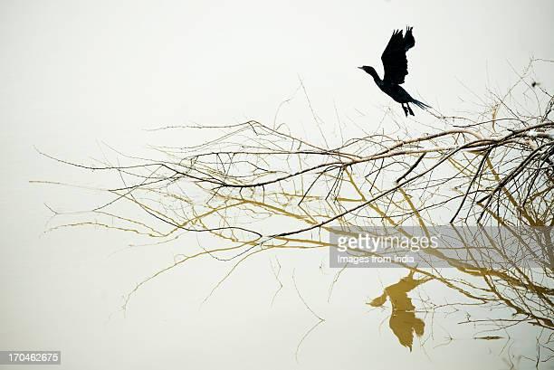 Cormorant reflected