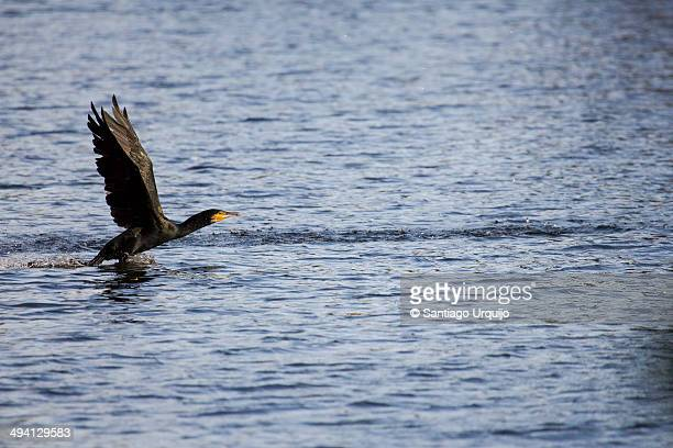 Cormorant taking off on a lake