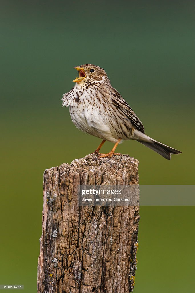 A corn bunting (Miliaria calandria) singing in the spring on a stake. : Stock Photo