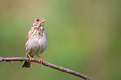 Corn Bunting ( Miliaria calandra ) sitting on a stick on a beautiful background.