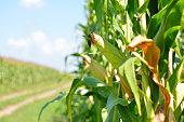 Ripe corn in field. Autumn. Time of harvesting.