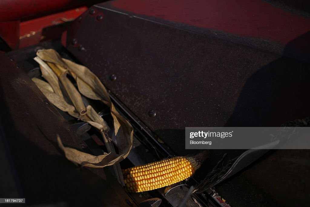 A corn cob is seen during a harvest on farm land leased to Tucker Farms in Shelbyville, Kentucky, U.S., on Tuesday, Sept. 24, 2013. Private exporters reported to the U.S. Department of Agriculture (USDA) export sales of 197,200 metric tons of corn for delivery to Mexico during the 2013 and 2014 marketing year. Photographer: Luke Sharrett/Bloomberg via Getty Images