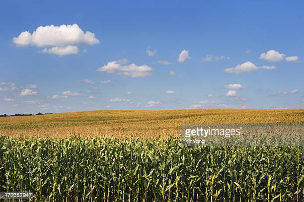 Corn Crop Cereal Plant in Agricultural Farm Field Rural Landscape