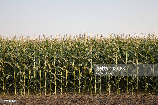 Corn crop field with dirt and sky
