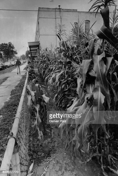 AUG 5 1977 Corn Crop Getting High Recent rains have helped the city's corn crop including this patch in the Denver Mayors Garden Project E 22nd Ave...