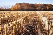 Corn crop on a field in autumn