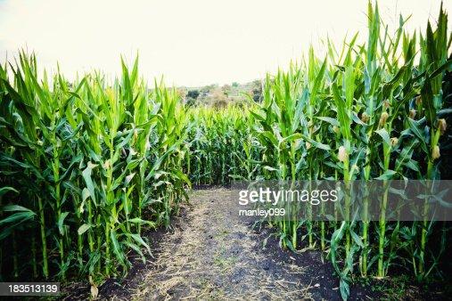 corn crop with dirt path