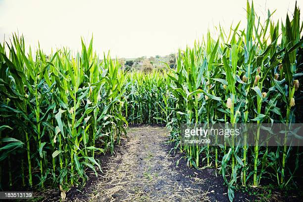 corn crop with dirt path
