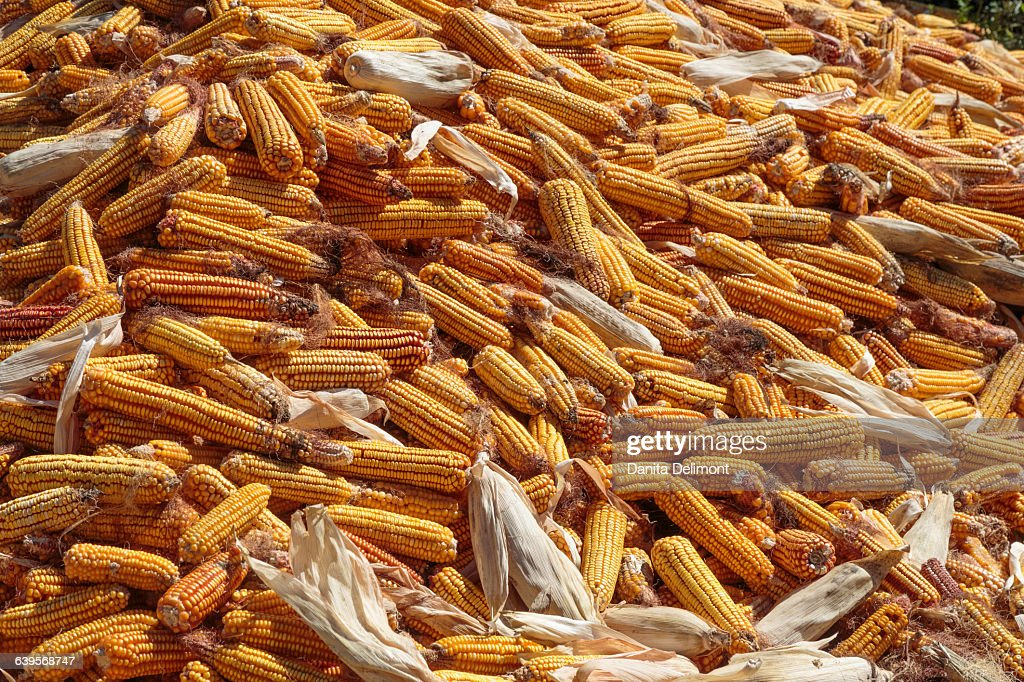 Corn drying in sun after harvesting, Telavi, Georgia