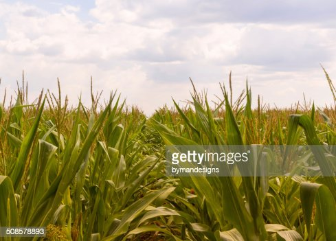 Corn farm against overcast sky : Stock Photo