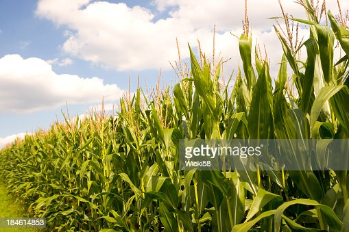 Corn Field Against Blue Cloudy Sky