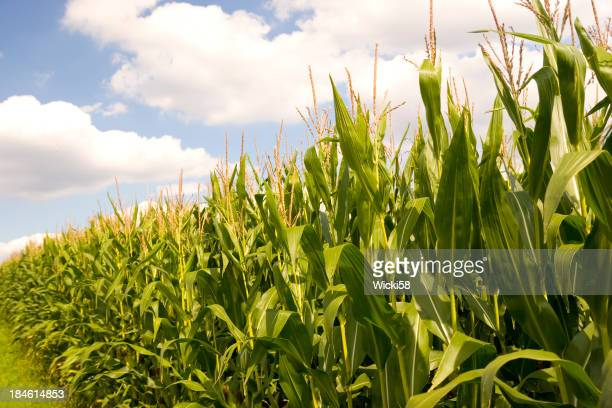 Corn Field Against Blue Cloudy Sky
