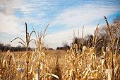 Corn field against sky